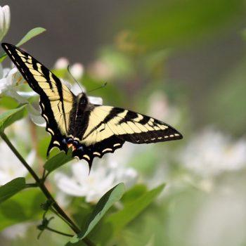 Warfield Butterfly on Flower